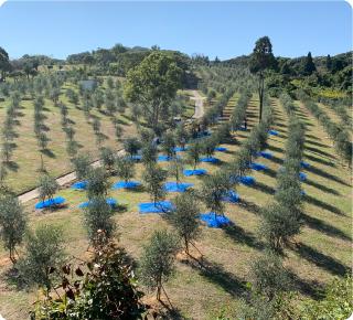 地球温暖化防止対策にも貢献するオリーブ栽培